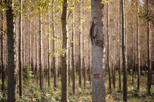 Forestry paint marking on tree trunks in woods