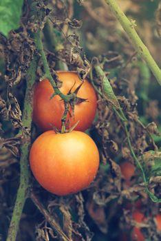 Organic tomato growth