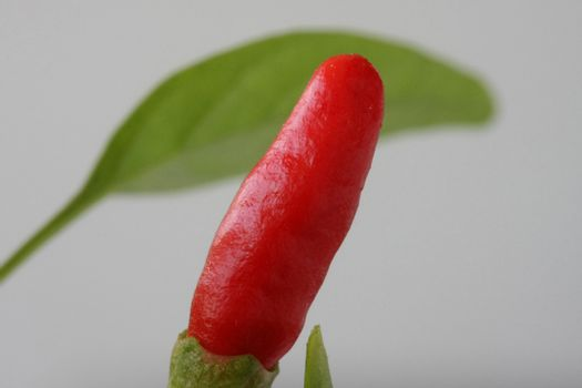 Macro of mini peppers that are grown in the flowerpot on terrace
