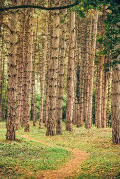 Narrow footpath through pine tree forest