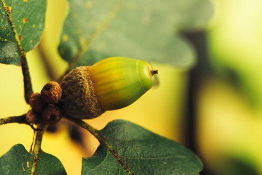 Oak tree acorn nut