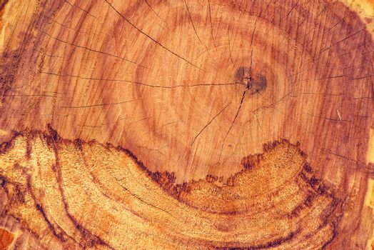 Ash tree trunk cross section