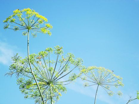 Bright picture of inflorescence dill