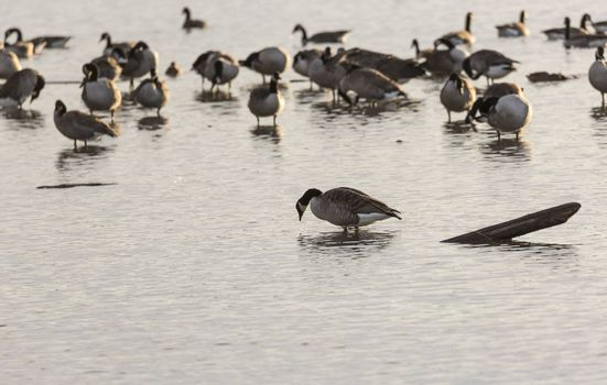 Canada Geese Flock in Water.