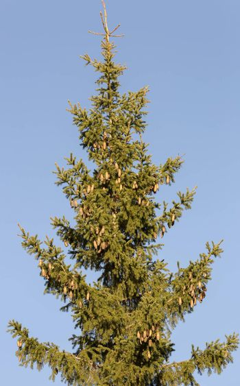 Top of Spruce Tree with a clear blue sky.
