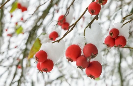 Hawthorn berries on the bushes covered with snow.