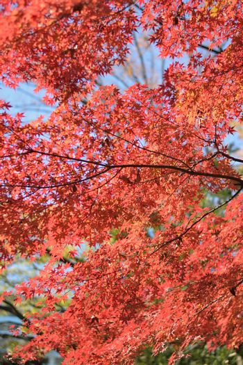 Background texture of Japanese Autumn Maple leaves in vertical frame