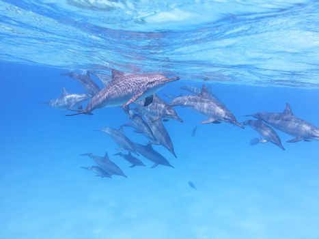Group of dolphins in tropical sea, underwater
