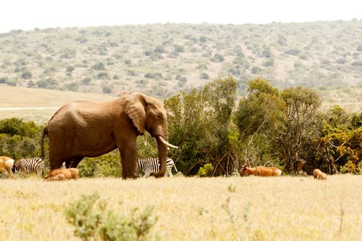 Bush Elephant standing and watching over all the animals in the field.