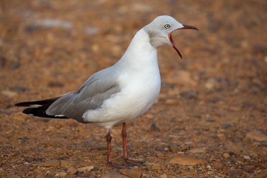 Grey Headed Seagull with beak wide open