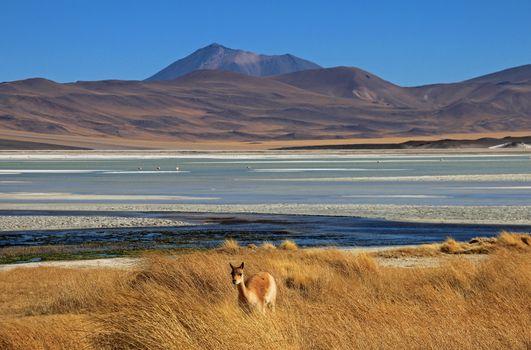 Vicuna at Salar Aguas Calientes, Atacama desert, Chile