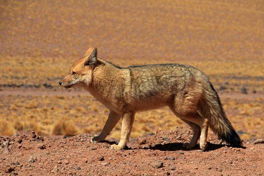 Andean fox, lycalopex culpaeus, also known as zorro culpeo. Atacama desert, Chile