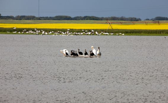 Pelicans in a Pond