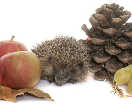 hedgehog in autum