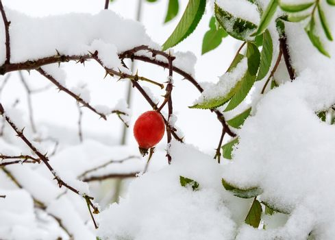 The leaves and berries of the hawthorn, covered with snow.