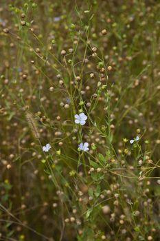 plant flax