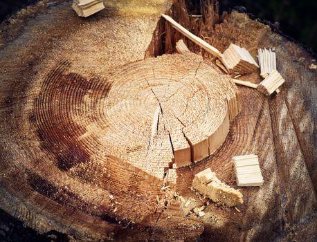 detail on spruce stump