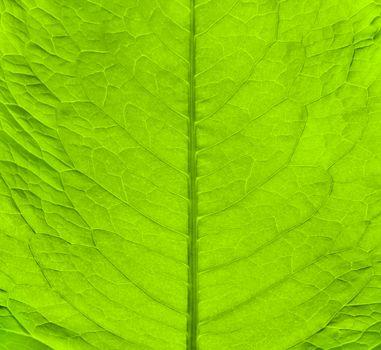 Macro texture of green fresh leaf