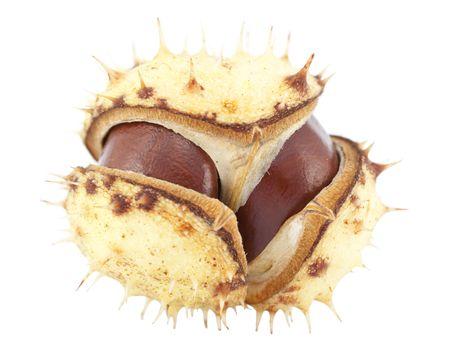 open chestnut