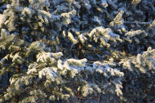 Hoarfrost on spruce tree