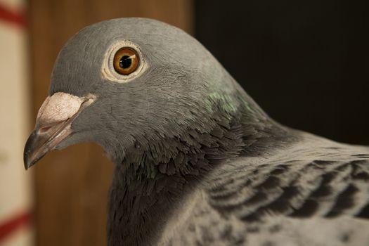 close up head shop of pigeon bird
