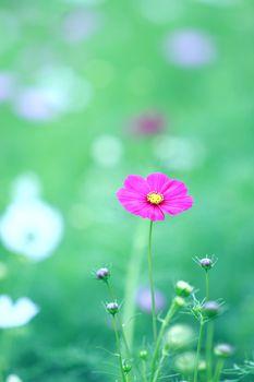 beautiful magenta cosmos flower in blur green field background