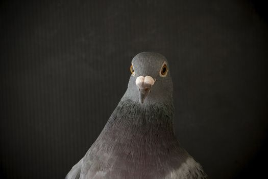 close up side view beautiful head shot of speed racing pigeon bi