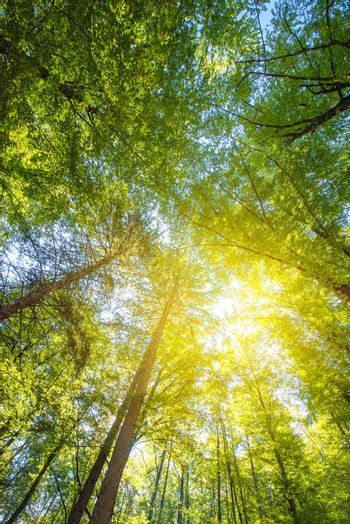Under the tall treetops, looking up at sunbeam