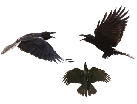 black birds crow flying mid air show detail in under wing feathe