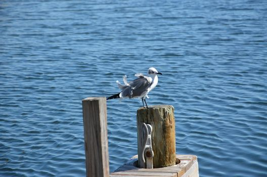 A seagull hanging out on the dock in the florida Keys on a windy day.