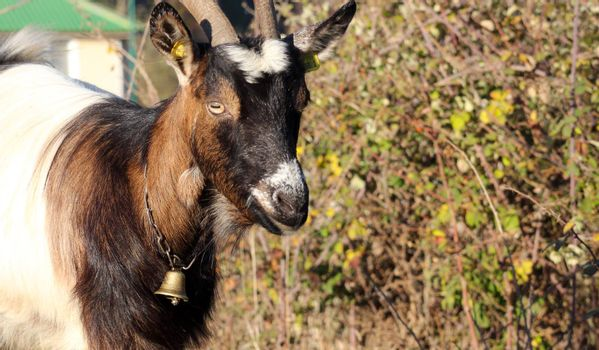 picture of a young goat,domestic animals theme