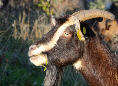 picture of a goat grazing in the field, domestic and farm animals theme
