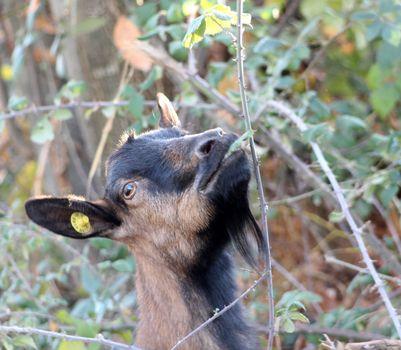goat grazing wild blackberry bush . domestic and farm animals theme