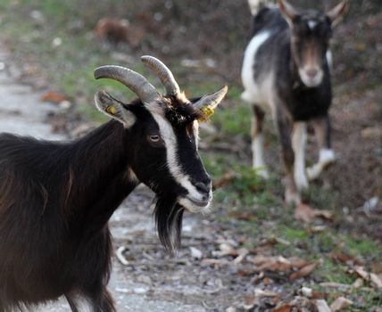 picture of a goats on an asphalt road