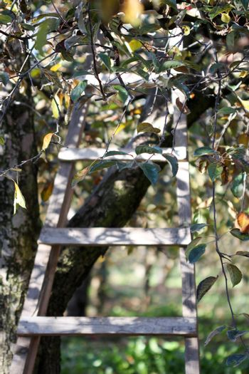 picture of a Ladder in Orchard in autumn