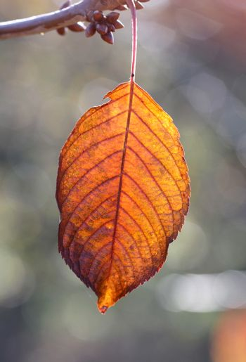 picture of a Close-up of cherry autumn leaf on a tree early on the morning