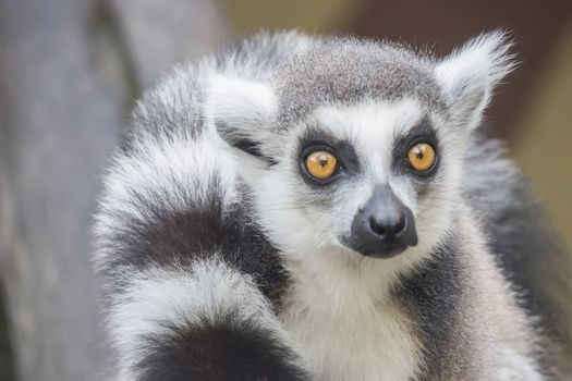 Lemur catta, Ring-tailed lemur