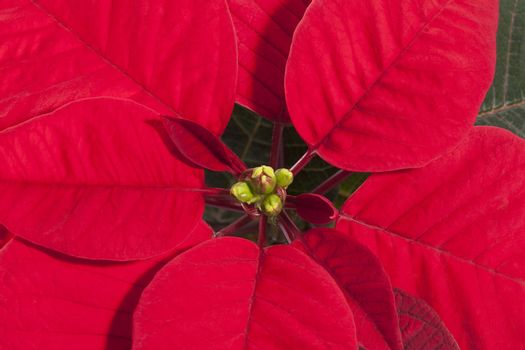Red flower of Christmas Poinsettia, close up