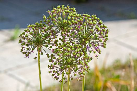 onion flower stalks
