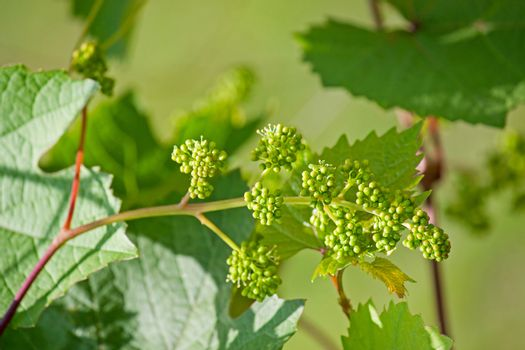 Grapes flowers
