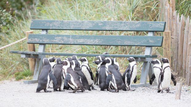 Group of African penguin (spheniscus demersus), selective focus