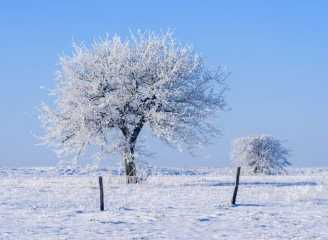 trees covered with frost in a snowy countryside