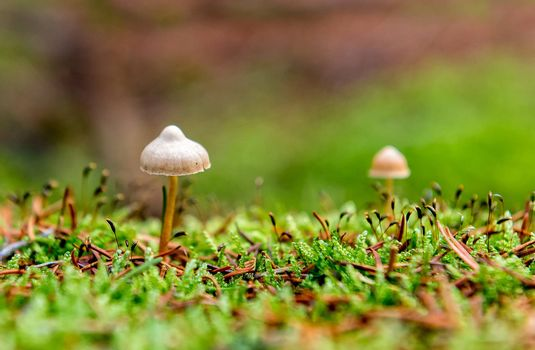 little mushroom in the forest moss