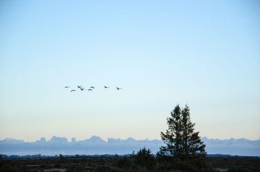 Migrating whooper swans