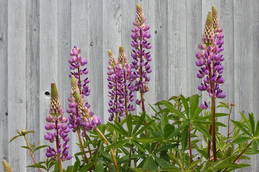 Beautiful purple lupins growing in the garden