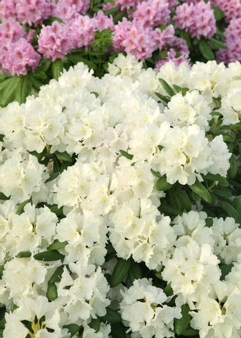 Pink and white Rhododendron flower