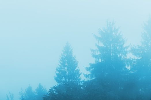 Pine tree forest in fog