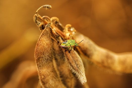 Stink bug on ripe soybean pods
