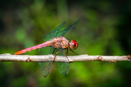 Red dragonfly insect resting on twig closeup macro