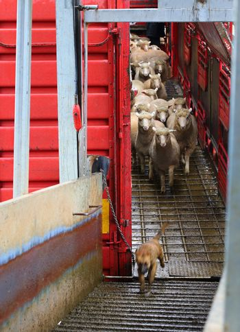 Sheep being offloaded livestock truck